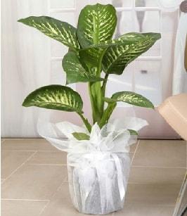 Tropik saksı çiçeği bitkisi  Kars hediye sevgilime hediye çiçek