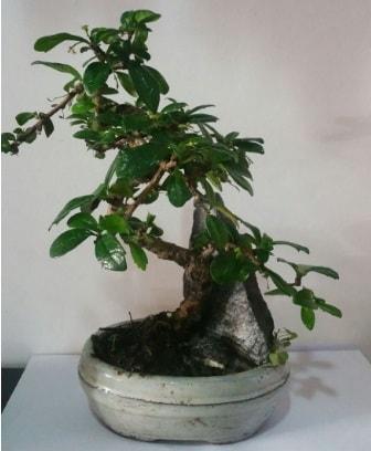 S şeklinde ithal bonsai ağacı  Kars uluslararası çiçek gönderme