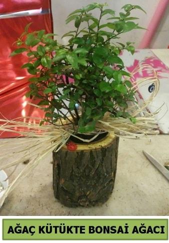 Doğal ağaç kütük içerisinde bonsai ağacı  Kars cicekciler , cicek siparisi