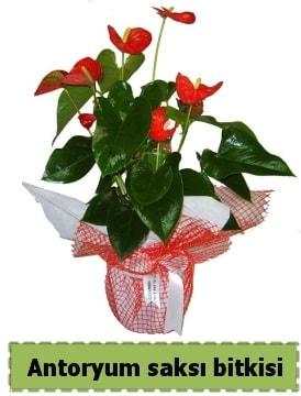Antoryum saksı bitkisi satışı  Kars çiçek online çiçek siparişi
