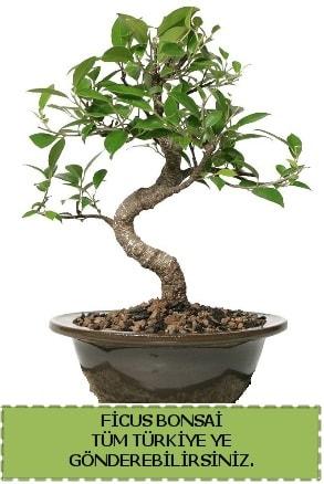 Ficus bonsai  Kars cicekciler , cicek siparisi