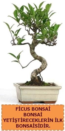 Ficus bonsai 15 ile 25 cm arasındadır  Kars uluslararası çiçek gönderme