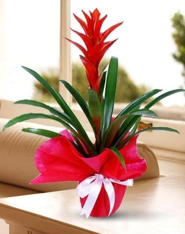 Guzmanya Saksı Çiçeği  Kars uluslararası çiçek gönderme
