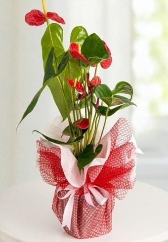 Anthurium Saksı Çiçeği  Kars çiçek mağazası , çiçekçi adresleri