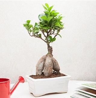 Exotic Ficus Bonsai ginseng  Kars çiçekçi mağazası
