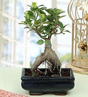 Appealing Ficus Ginseng Bonsai  Kars çiçek , çiçekçi , çiçekçilik