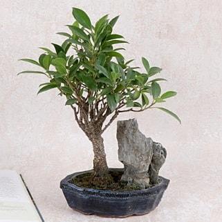 Japon ağacı Evergreen Ficus Bonsai  Kars cicekciler , cicek siparisi