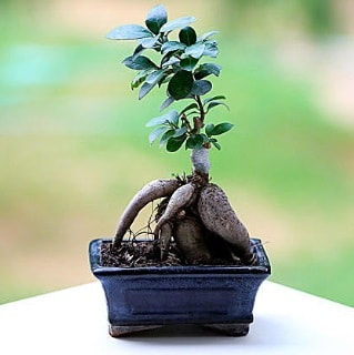 Marvellous Ficus Microcarpa ginseng bonsai  Kars İnternetten çiçek siparişi