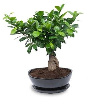 Ginseng bonsai ağacı özel ithal ürün  Kars yurtiçi ve yurtdışı çiçek siparişi