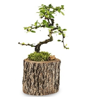 Doğal kütükte S bonsai ağacı  Kars hediye sevgilime hediye çiçek