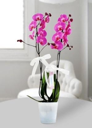 Çift dallı mor orkide  Kars online çiçekçi , çiçek siparişi