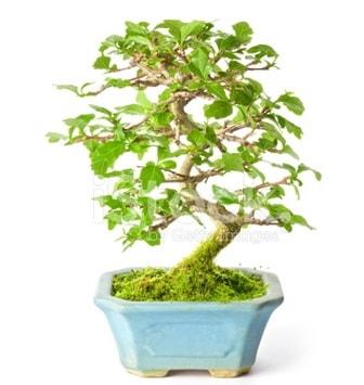 S zerkova bonsai kısa süreliğine  Kars cicek , cicekci