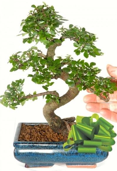 Yaklaşık 25 cm boyutlarında S bonsai  Kars güvenli kaliteli hızlı çiçek
