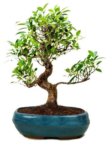 25 cm ile 30 cm aralığında Ficus S bonsai  Kars cicekciler , cicek siparisi