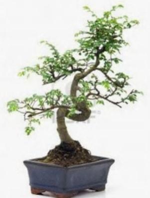 S gövde bonsai minyatür ağaç japon ağacı  Kars hediye sevgilime hediye çiçek