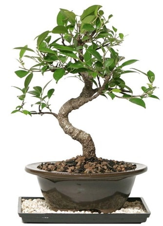 Altın kalite Ficus S bonsai  Kars anneler günü çiçek yolla  Süper Kalite