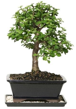 15 cm civarı Zerkova bonsai bitkisi  Kars güvenli kaliteli hızlı çiçek