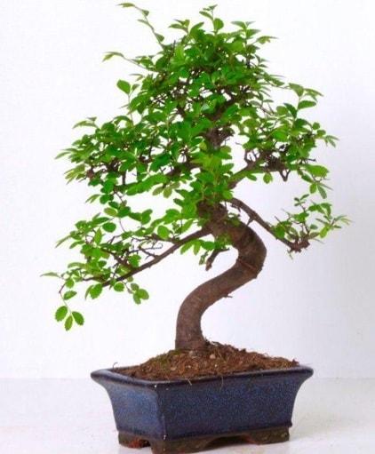 S gövdeli bonsai minyatür ağaç japon ağacı  Kars cicekciler , cicek siparisi
