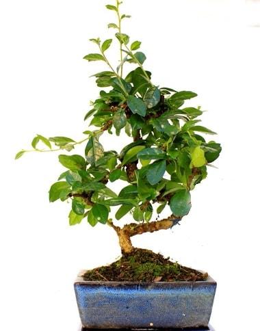 S gövdeli carmina bonsai ağacı  Kars uluslararası çiçek gönderme  Minyatür ağaç