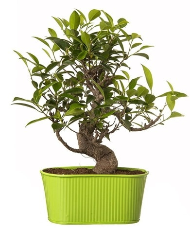 Ficus S gövdeli muhteşem bonsai  Kars güvenli kaliteli hızlı çiçek