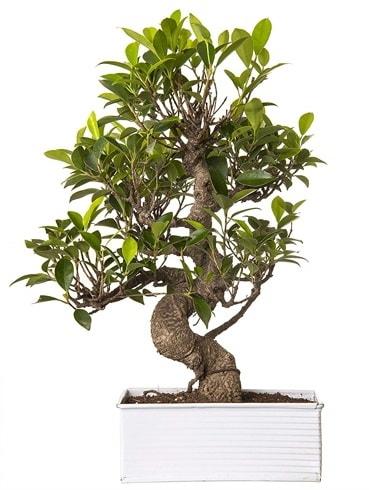 Exotic Green S Gövde 6 Year Ficus Bonsai  Kars cicekciler , cicek siparisi