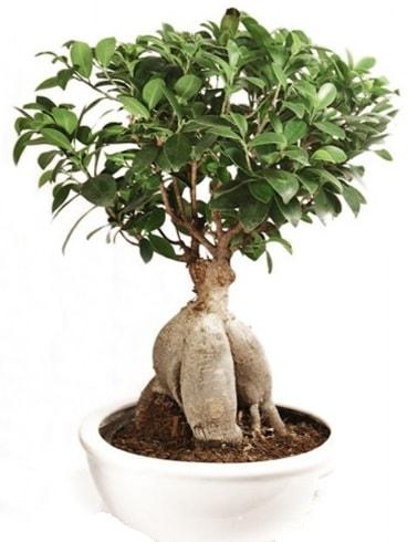 Ginseng bonsai japon ağacı ficus ginseng  Kars cicek , cicekci
